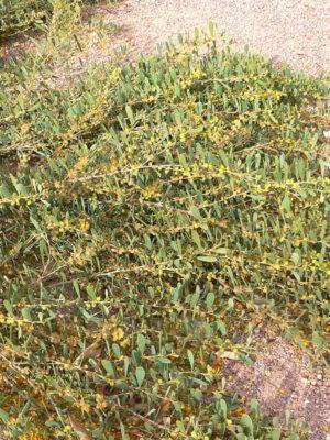 Low Desert Shag Shrub Acacia Redolens Urban Xeriscape