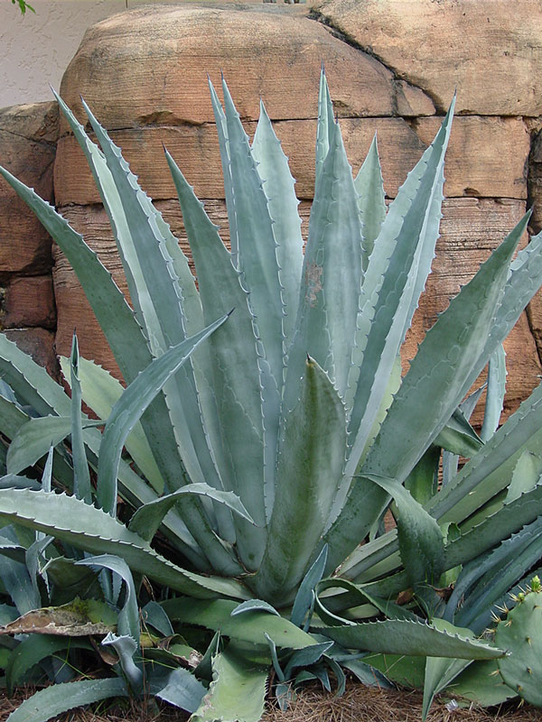 Lg Giant Steel Blue Agave Plant Agave Americana Sp Urban